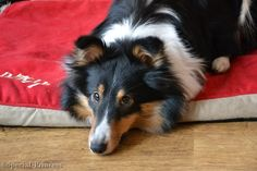 """Curious Eevee Special Princess """"Eevee"""" - our tricolor Shetland Sheepdog (Sheltie) - Special Princess"""