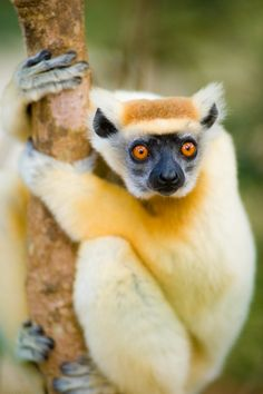 Golden Crowned Sifaka (Propithecus tattersalli) - A medium sized lemur, and the smallest of the sifakas, the P. tattersalli can grow about 3 feet from head to tail. Their name is from the orange gold fur that decorates the top of the head in both genders. Its snout is shorter and broader than most sifakas.
