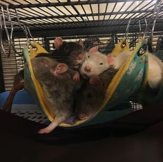 My boys turned one year old today! #aww #cute #rat #cuterats #ratsofpinterest #cuddle #fluffy #animals #pets #bestfriend #ittssofluffy #boopthesnoot