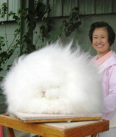 Giant Angora rabbit, worlds largest and fluffiest bunny in the world!