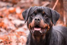 Smartest Dog Breeds, Best Dog Breeds, Large Dog Breeds, Rottweiler Puppies, German Dog Breeds, Dog Body Language, Bulldog Breeds, Big Dogs, Pets