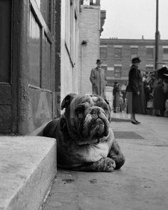 Lazy Bulldog at Camden Town Art Print by John Gay at Art.com