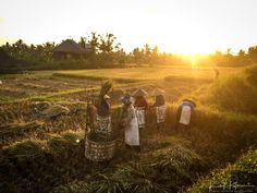 Rice Threshing Ubud - Bali