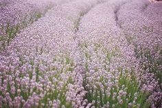 fields of lavender in Provence via This is Glamorous