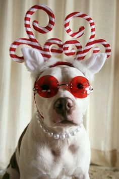 super-cool chritsmas American pit bull terrier puppy dog