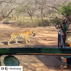 "Gracious movement but don't mess with them even if they seem ""relaxed"". #reiseliv #reisetips #reiseblogger #reiseråd  #Repost @kholmang (@get_repost)  Finding tigers in their natural habitat is not easy and not many people have been lucky enough to see one up close like this. This was by far the best part of my trip to India. Ranthambore National Park India  April 2010"