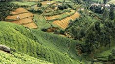 Tea farm, Sri Lanka || Produces and exports some of the world's most popular black teas. Known as Ceylon teas, they are typically mellow yet offer full-bodied character, making them popular in breakfast blends and iced teas.