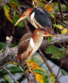 The Least Bittern (Ixobrychus exilis) is a small wading bird, the smallest heron found in the Americas.
