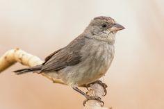 Pileated Finch (Tico tico rei cinza) / 500px