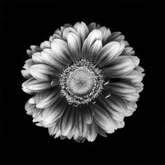 Black and White Art Photography   Gerbera in black and white Art Print by Elke Vogelsang   Society6