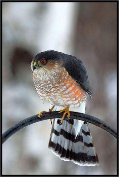 Sharp-shinned Hawk that visits my feeders!