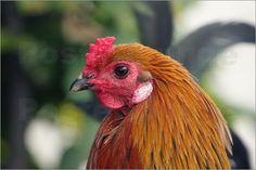 Huhn, Hahn, Vogel, Vögel, Portrait, Mann, Tiere, Nutztier, Männlich, Bauernhof, Chicken, rooster, bird, birds, portrait, man, animals, livestock, male, Farm