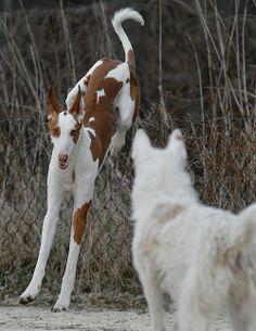 ibizan hound photo | Ibizan Hound | Mostly Iggies.