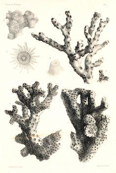 Coral Drawing | Drawing Coral