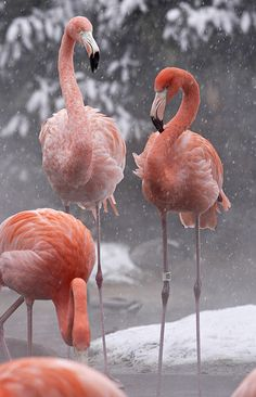 Amazing wildlife - American Flamingos and snow photo #flamingos