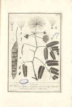 Mimosa botanical illustration by J. Cairoli, 1786 : Chestnut School of Herbal Medicine