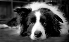 STUNNING PHOTO OF A BORDER COLLIE <3