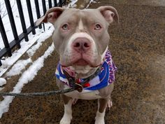 Manhattan Center SHARKY – A1100977 ***SAFER : AVERAGE HOME*** NEUTERED MALE, GRAY / WHITE, AM PIT BULL TER MIX, 1 yr, 3 mos OWNER SUR – AVAILABLE, NO HOLD Reason NO TIME Intake condition UNSPECIFIE Intake Date 01/04/2017, From NY 10468, DueOut Date 01/04/2017