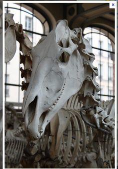 skull of a horse, amazing!