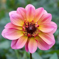 Dahlia 'Floorinoor', mid August. Pink Perennials, Beautiful Flowers, Waterfall, Planters, Gallery, Floral, Nature, Image, Amazing