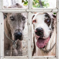 River and Sage, great danes in their yard || dogscapes.com san diego dog photography