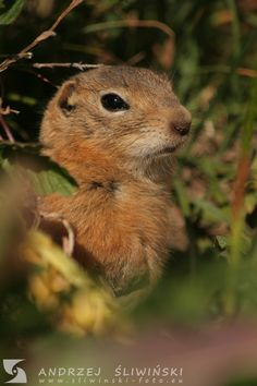 Gopher in the Altai Mountains, Rusiia. Altai Mountains, Wild Animals, Wildlife Photography, Pictures, Wild Ones, Nature Photography