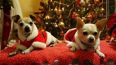 Tato y Chloe Chihuahuas navideños'