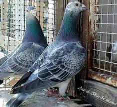 Cute Pigeon, Racing Pigeon Lofts, Pigeon Pictures, Pigeon Breeds, Homing Pigeons, Best Stocks, Beautiful Birds, Pet Birds, Animals And Pets