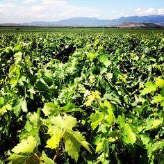 Viñas de La Rioja