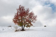 red tree in Zegiestow,Poland