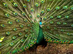 Google Images Peacock   Peacock   Pretty Peacock Photography