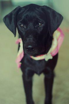 Black Labrador Retriever #Puppy #Dog