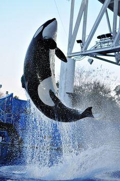 #SeaWorldOrlando #Shamu
