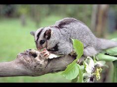 Squirrel Glider | Squirrel Glider