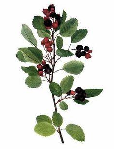 Serviceberry, Saskatoon (Amelanchier alnifolia), Pacific northwest native shrub - Northwest native plants directory