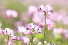 Can These Flowers Make You Healthier?: Astragalus