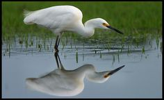 """Visual #BibleVerseoftheDay: A foraging Snowy Egret, Central Florida and Proverbs 27:19. """"As water reflects the face, so one's life reflects the heart…"""" CLICK THE PHOTO for the complete passage."""