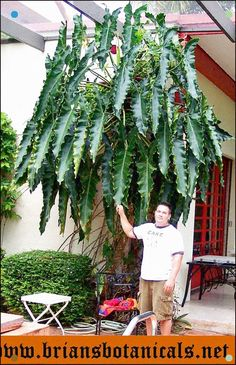 Houseplants That Filter the Air We Breathe philodendron stenolobum Unusual Plants, Rare Plants, Exotic Plants, Cool Plants, Exotic Flowers, Tropical Plants, Leafy Plants, Foliage Plants, Indoor Plants