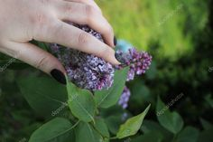 Violet Flowers Garden - Stock Photo , #Aff, #Flowers, #Violet, #Garden, #Photo #AD Violet Garden, Indesign Magazine Templates, Garden Photos, Flowers Garden, Grass, Stock Photos, Floral, Florals, Grasses