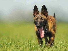 Malinois Dog Wallpaper