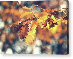 Autumn Colors Acrylic Print  #autumn #fall #branch #oak #oakleaf #oaktree #colors #oakleaves #branch #tree #park #plant #bokeh #photography #acrylic #canvas #art #buyart #decor #decoration #decorative #sale #forsale #onsale #discount #bright #nature #wallart