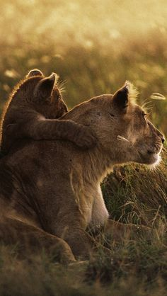 iPhone 5 wallpapers HD - African lions pictures, Backgrounds