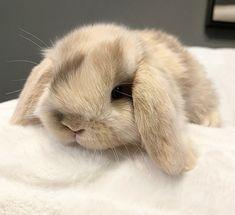 Holland Lop, Bunnies, Rabbit, Beautiful, Rabbits, Bunny, Dwarf Rabbit