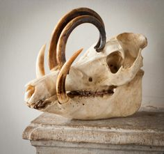 Beautiful babirousa skull. These bizarre-looking wild pigs are increasingly rare, and live in Sulawesi and other islands of Indonesia.