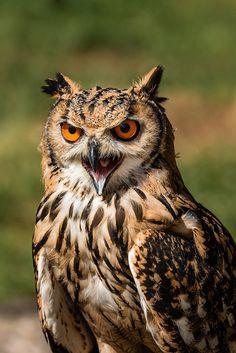 Go away! - Eagle Owl shouting at me