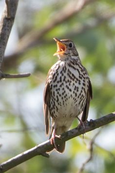 Beautiful Birds, Animals Beautiful, Song Thrush, Photo Animaliere, Watercolor Bird, Exotic Birds, Little Birds, Summer Garden, Bird Feathers