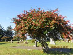 cotoneaster tree - non australian native. invasive