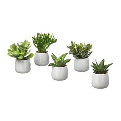 IKEA - SUCCULENT, Potted plant with pot, grey, Native to dry areas all over the world. This plant is sensitive to cold water and under watering. This may be the cause if the leaves start to fall off. Succulent Pots, Succulents Diy, Planting Succulents, Planting Flowers, Planter Pots, Ikea Plants, Potted Plants, Cactus Plants, Ficus Microcarpa