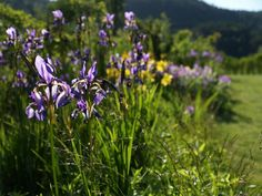 Iris sibirica, siberian flag in our garden at Moell. June 24th 2015