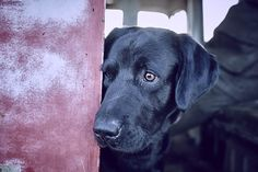 Gun dogs, retrievers, working dogs, country sports